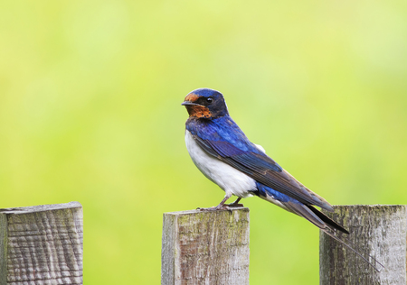 little funny bird, the barn swallow is sitting on an old wooden fence in the summer Lizenzfreie Bilder