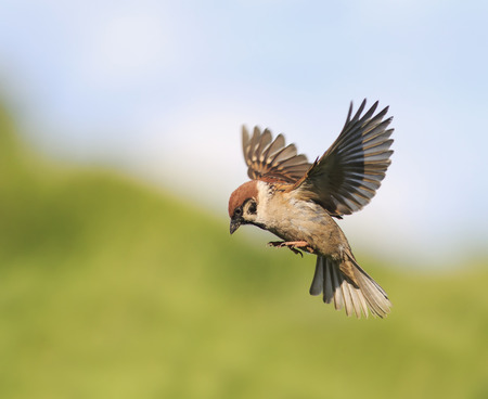 little bird Sparrow flits in the summer spread their wings 스톡 콘텐츠