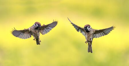 a couple of funny little birds, sparrows fly next summer to spread its wings