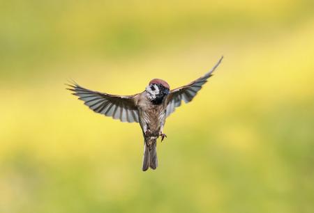 kleine vogel Sparrow flits Zonnige zomerdag spreidt zijn vleugels uit