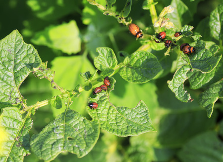 the harmful larvae of the Colorado potato beetle ate the potato leaves in the garden