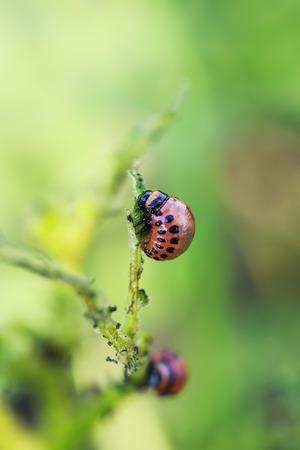 fatty red larva Colorado potato beetle sits and eats potato leaves Banco de Imagens