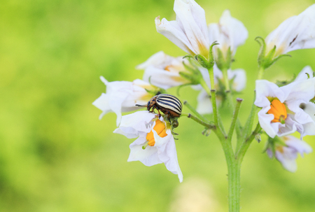 grub: pest garden striped Colorado potato beetle sits on the flowering branches of plants potatoes Stock Photo