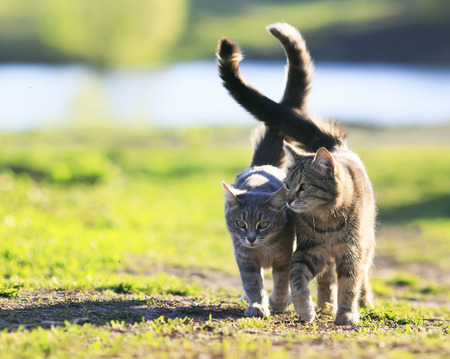 pair of lovers striped cat walking on green grass next to a Sunny spring day lifting tails Standard-Bild