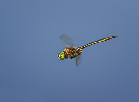 dragonfly with large eyes and shining wings flying on blue sky background