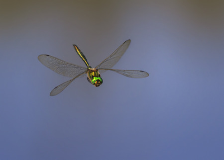 beautiful dragonfly with large eyes and shining wings flying over the pond right Stock Photo