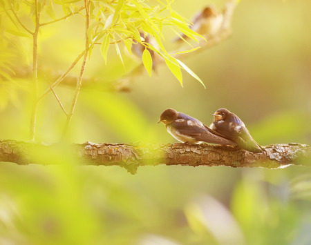 two little birds swallows sitting on a branch over the pond Sunny summer day Stock Photo