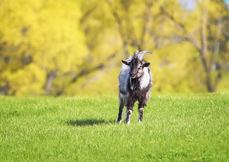 funny young goat grazing in a lush green meadow clear day Stockfoto