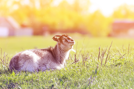 funny young goat lying in the meadow exposing face to sunlight