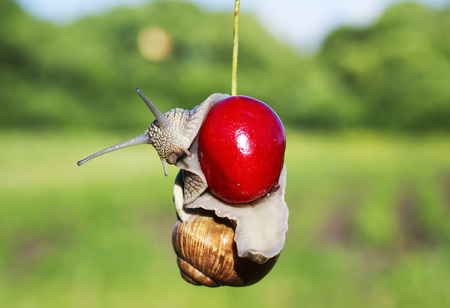 funny pest of garden snail hanging on ripe red berry cherries in the summer Stockfoto