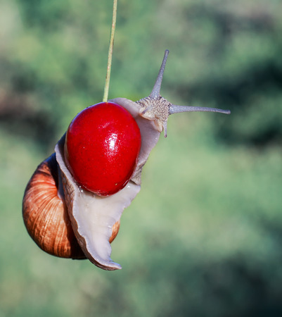 pest of garden snail hanging on ripe red berry cherries in the summer Stockfoto