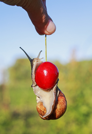funny pest of garden snail hanging on ripe red berry cherries in the summer in hand Stockfoto