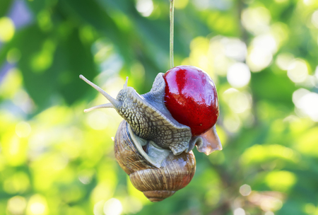 pest of garden snail hanging on ripe red berry cherries in the summer a Sunny day
