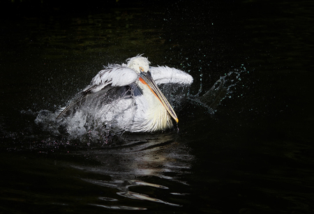 beautiful waterfowl curly white Pelican floating on the dark lake and splashes drops with wide fenders