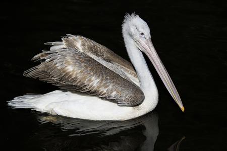 bird portrait of a pink Pelican majestically floats in the dark water