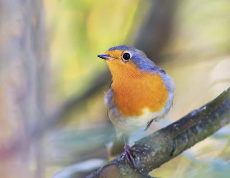 beautiful little orange bird Robin sitting on a branch in the garden on a Sunny day Stockfoto