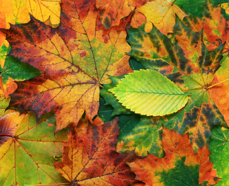 beautiful natural background of various colorful autumn leaves