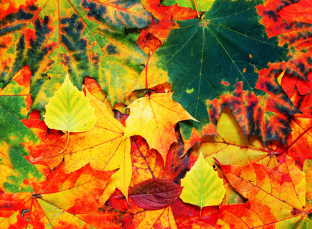 beautiful natural background with different colors of autumn leaves
