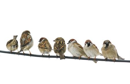 Veel kleine vogels mussen zittend op een draad op witte geïsoleerde achtergrond Stockfoto - 87158735