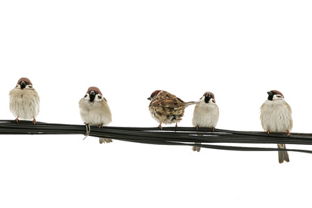 lots of little birds sparrows sitting on a wire on white isolated background Stockfoto
