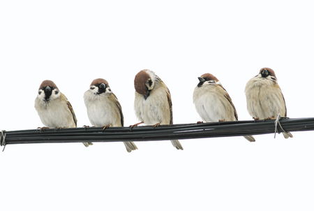 flock of small birds sparrows sitting on the wires on the white isolated background Stockfoto