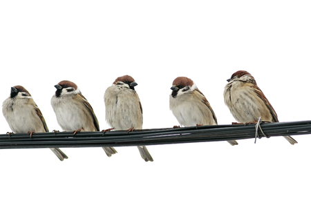 small birds sparrows sitting on the wires on the white isolated background Stockfoto