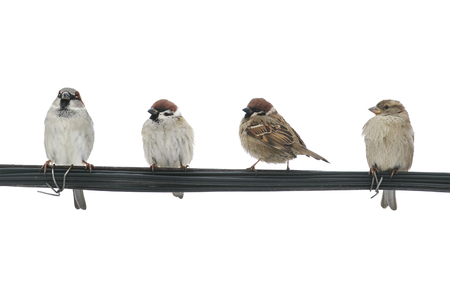 lots of small birds sparrows sitting on the wires on the white isolated background