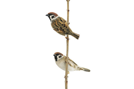 two birds sparrows sitting on a branch and looking into the distance on a white isolated background