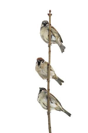 three birds sparrows sitting on a branch and looking into the distance on a white isolated background Stockfoto