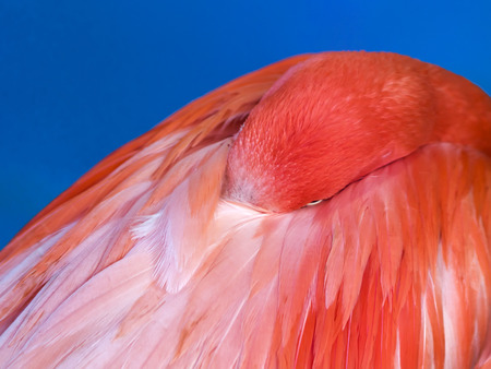 bright pink Flamingo bird put his beak in the feathers on blue background