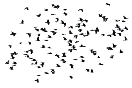 a flock of black crows flying wings spread on a white isolated background