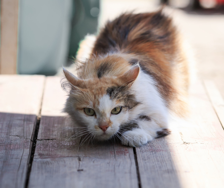 fluffy beautiful cat funny sneaks forward right on a wooden porch Stock Photo