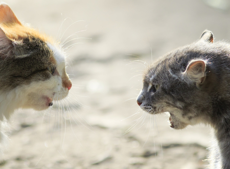 portraits of two aggressive cats facing each other, hiss at each other