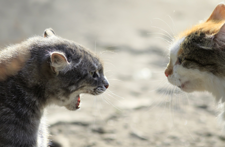 heads of two aggressive cats facing each other, hiss at each other
