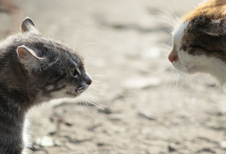 confrontation of two aggressive cats facing each other, hiss at each other