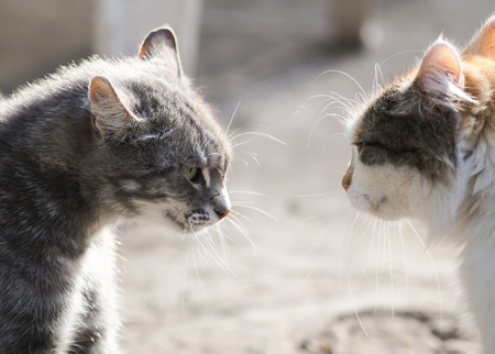 two cats are standing opposite each other aggressive and evil mood