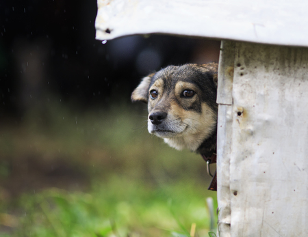 funny, sad puppy stuck out his nose and peeking out of his booth in rainy weather