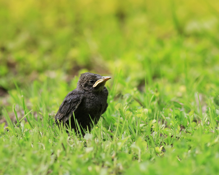 funny chick Starling with a yellow beak sitting in the grass and waiting for parents