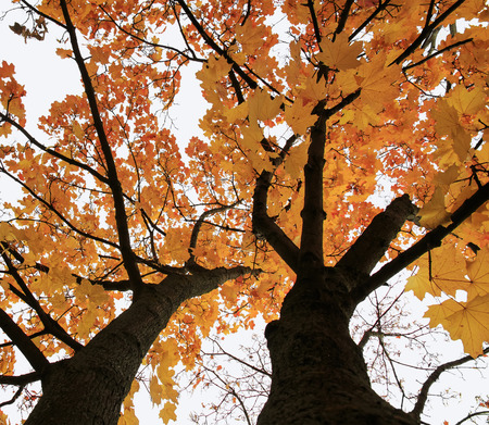 the crown of maple tree in autumn, bright Golden foliage on sky background Stock Photo