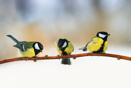 three lovely puffy tit sitting on a branch in winter Sunny Park 스톡 콘텐츠