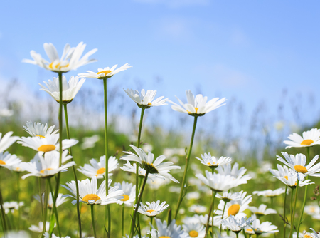 beautiful summer field with white flowers daisies