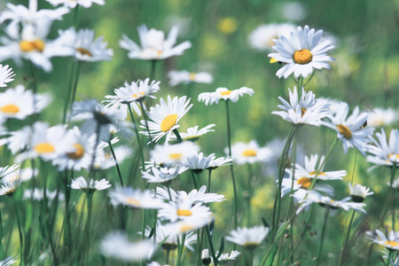 beautiful summer field with white delicate flowers daisies