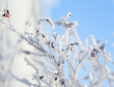natural background of branches of dog-rose covered with cold icicles of white frost in the winter garden