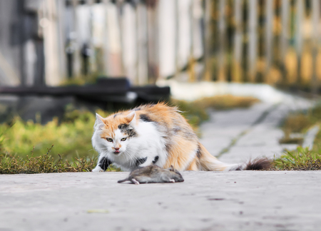 clever fluffy house cat sneaking in autumn and the garden mouse