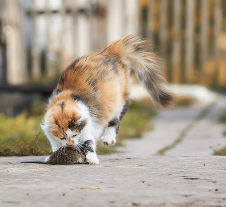 clever fluffy homemade red cat plays with a caught mouse grey Bouncing fun Stock Photo