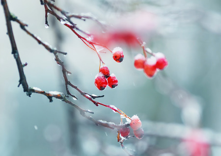 ripe bright red berries of viburnum in the garden covered in rain drops and crystal white snow