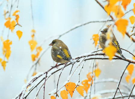 two cute green birds sitting in the bright autumn garden on a branch during the first snowfall