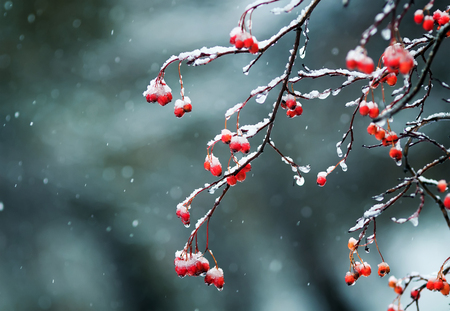 bright red Rowan berries in the garden are covered in raindrops and crystal white snow Lizenzfreie Bilder