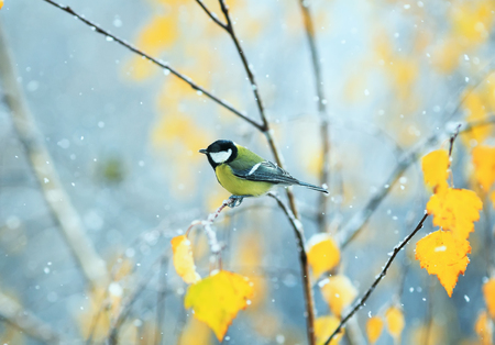 beautiful bird sitting in the late autumn in the Park on a branch of a birch in the snow