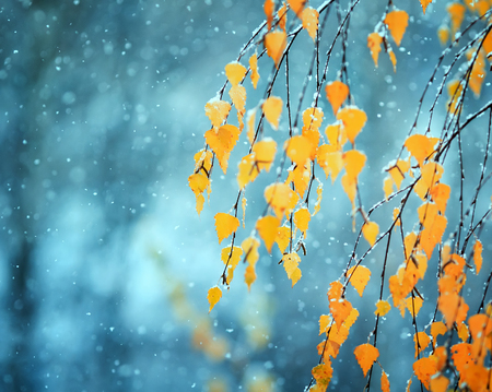 beautiful birch branches with Golden autumn older leaves covered with white falling snow